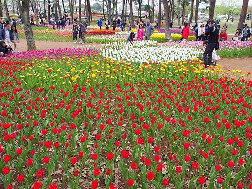 510c-tulip948.jpg