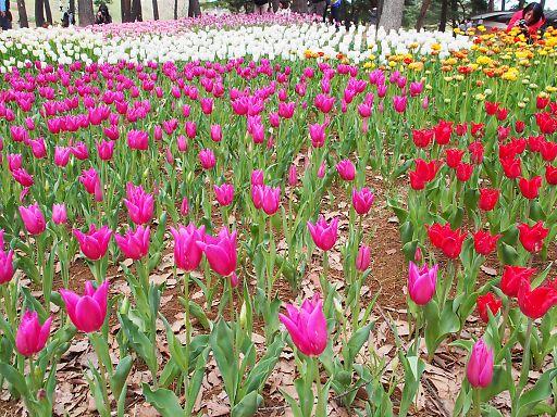 510e-tulip959.jpg