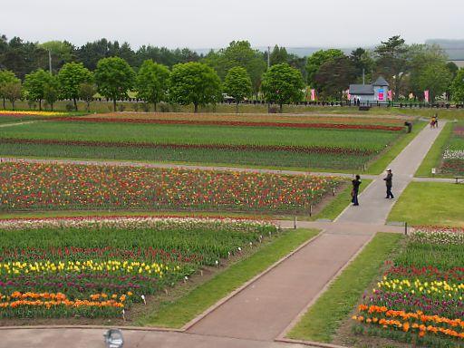 601c-tulip901.jpg