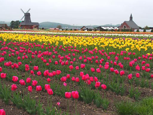 601i-tulip859.jpg