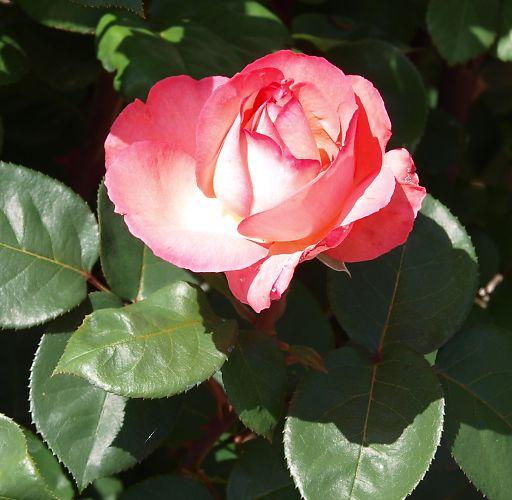 703a-pinkpansa432.jpg