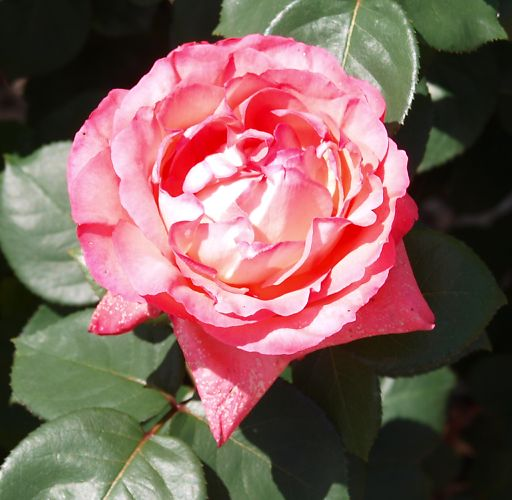 703b-pink-pansa433.jpg
