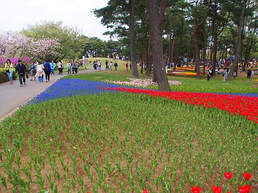 510a-tulip705.jpg